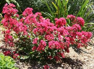 Lagerstroemia Indica hybrid (Fleming Filligree Crapemyrtle™)