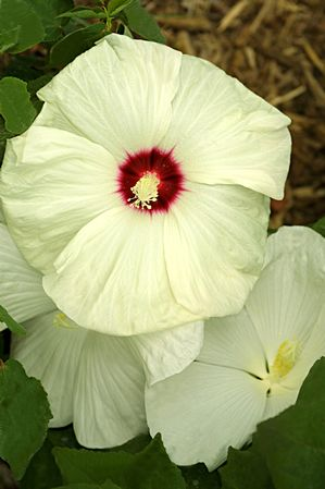 Hibiscus X Moscheutos Flemings Old Yella Fleming Hardy Hibiscus