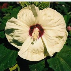 Hibiscus x moscheutos New Old Yella