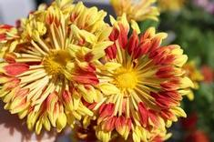Chrysanthemum Matchsticks