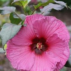 Hibiscus x moscheutos Fleming's Plum Crazy™