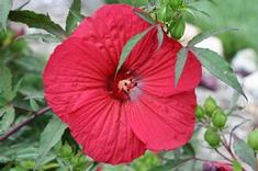 Hibiscus x moscheutos Fleming's Fireball™