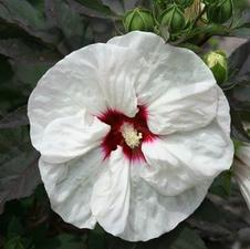 Hibiscus x moscheutos 'Fleming's Crown Jewels™'