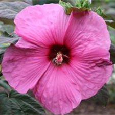 Hibiscus x moscheutos 'Fleming's Royal Gems™'