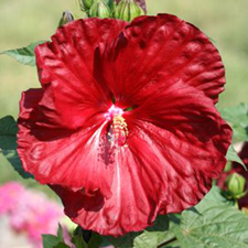 Hardy Hibiscus 'Robert Fleming'