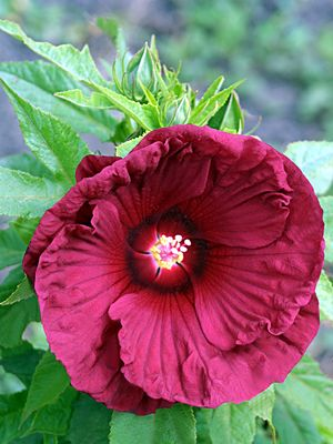 Hardy Hibiscus 'Torchy'