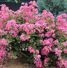 Fleming Filligree Crapemyrtle™ 'Coral Filli'