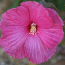 Hibiscus x moscheutos 'Satellite'