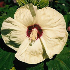 Hibiscus x moscheutos 'New Old Yella'