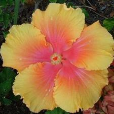 Tropical Hibiscus Rosa sinensis 'The Path'