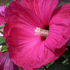 Fleming Hardy Hibiscus ™ 'Snowflame'