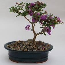 Bonsai Crapemyrtle 10