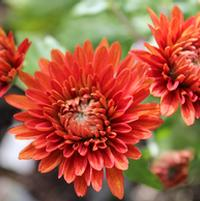 Chrysanthemum 'Torch Song'