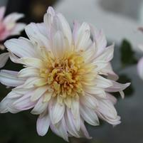 Chrysanthemum 'Belle O' the Ball'