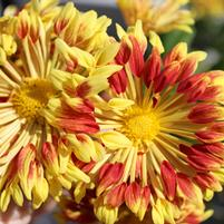 Chrysanthemum 'Matchsticks'