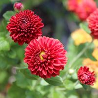 Chrysanthemum 'Little Rascal'