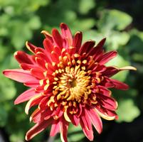 Chrysanthemum 'High Regards'