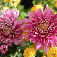 Chrysanthemum 'Fancy Free'
