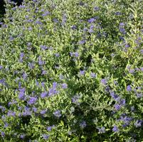 Caryopteris 'Blue Moonshine'