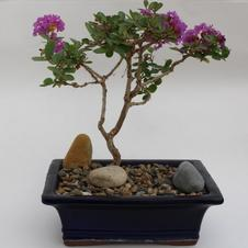 Bonsai Crapemyrtle 11