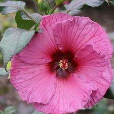 Hibiscus x moscheutos 'Fleming's Plum Crazy™'