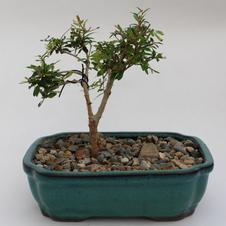 Bonsai Dwarf Pomegranite 8.5