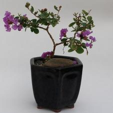 Bonsai Crapemyrtle 5