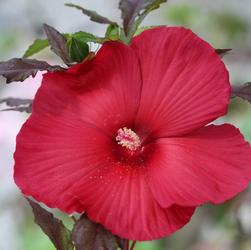 Moscheutos Hibiscus ''Moulin Rouge''