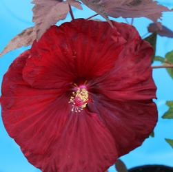 Hibiscus x moscheutos ''Moulin Rouge''