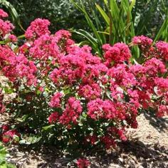Lagerstroemia indica hybrid 'Red Fill'