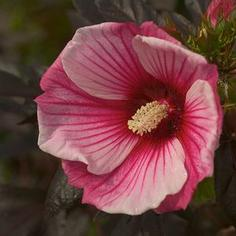 Hibiscus x moscheutos ''Small Wonder''