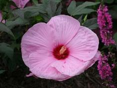 Hibiscus mocheutos 'James Fleming'