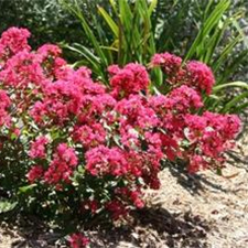 Lagerstroemia Indica hybrid 'Red Filli'