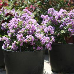 Lagerstroemia indica hybrid 'Violet Filli'