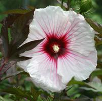 Hibiscus x moscheutos 'Fleming's Kopper King™'