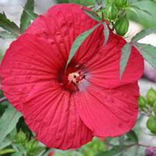 Hibiscus x moscheutos 'Fleming's Fireball™'