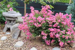 Lagerstroemia indica hybrid (Fleming Filligree Crapemyrtle™ 'Coral Filli')