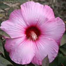 Fleming Hardy Hibiscus ™ 'Stardust'
